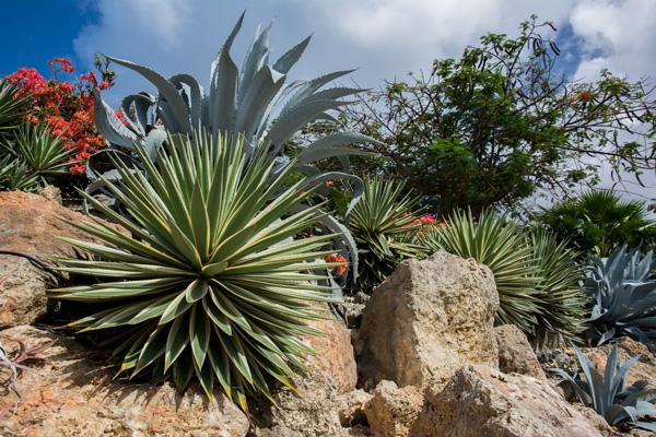 agave-plante-desert